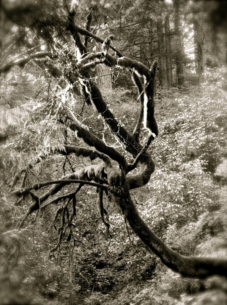 A tangled up tree in Black and White near Multnomah Falls, OR
