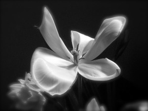 Black and White Photo of a Tulip