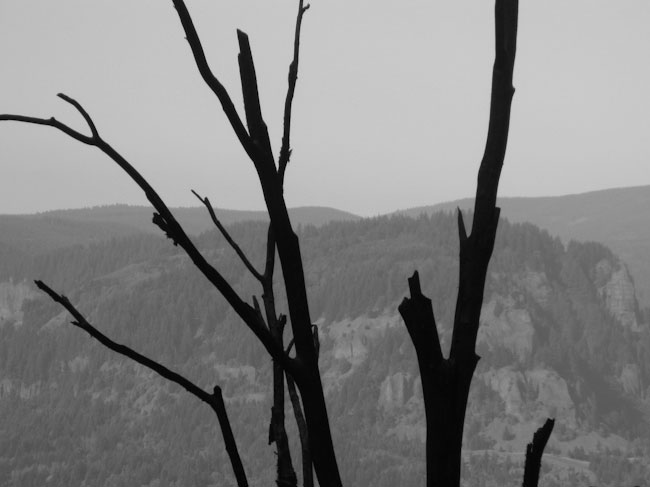 bare trees at columbia gorge