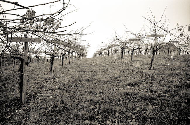 toned b&w photo of vineyard, anderson valley, ca