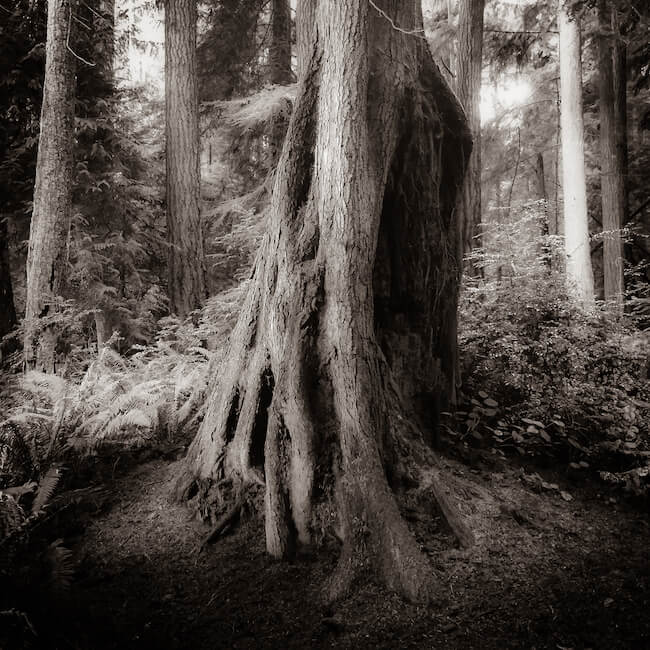 large black and white tree trunk on whidbey island